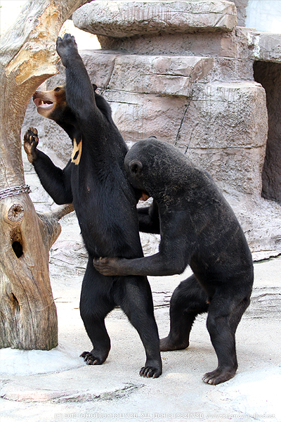 ファスナーを閉めるかわいいクマ