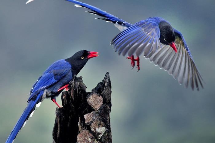 美しい鳥ヤマムスメ