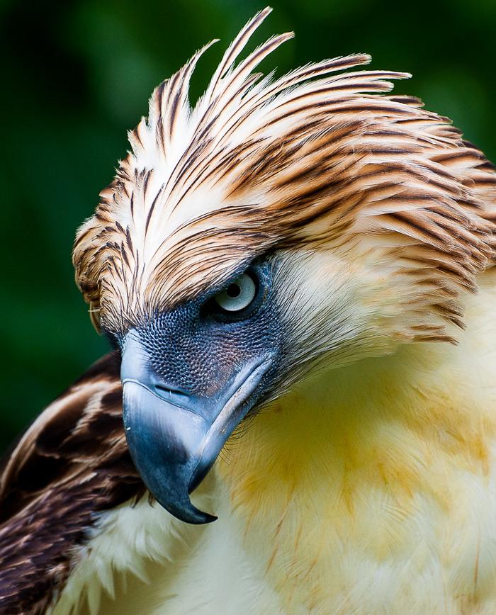 美しい鳥フィリピンワシ