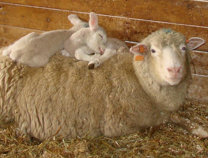 sheep06
