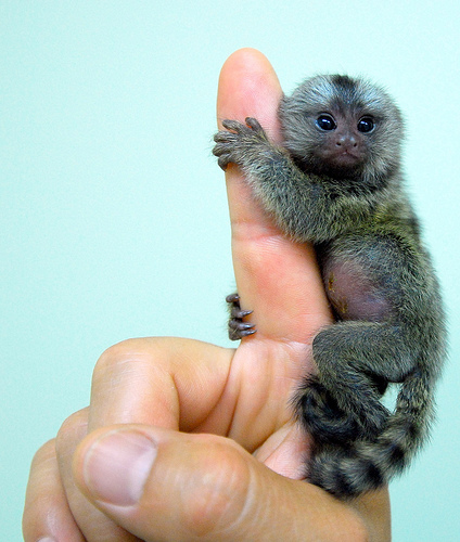 Tiny-Pygmy-Marmoset