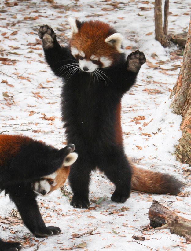 panda09