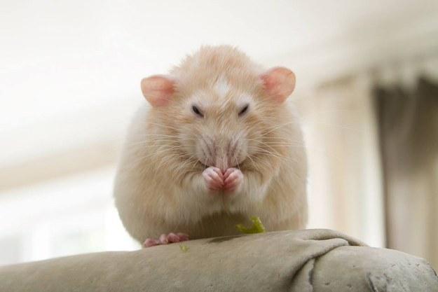 rats04