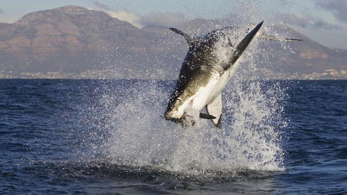 水しぶきを上げるホホジロザメ