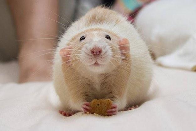 rats03