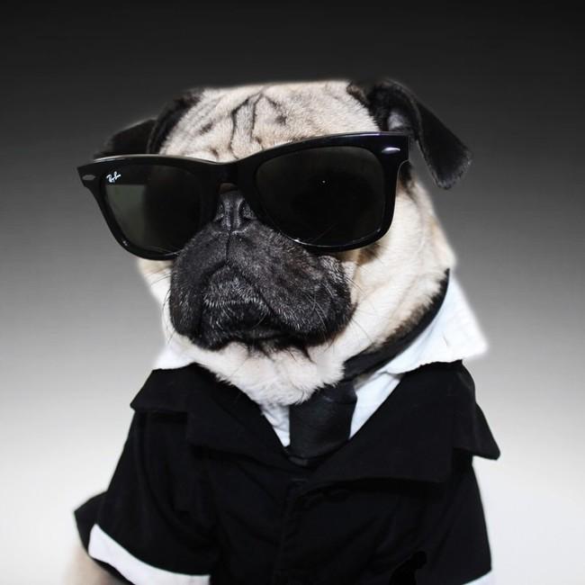 パグ犬のおもしろミステリアス画像