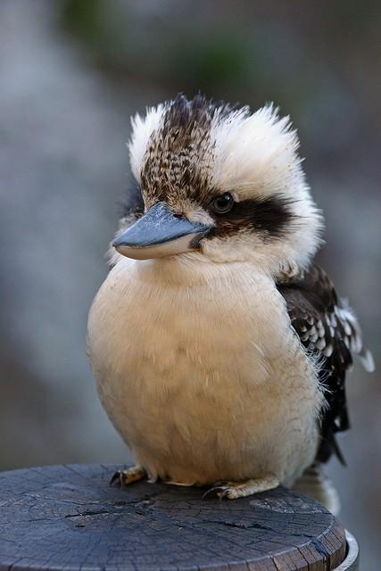 ワライカワセミ : 丸い鳥かわい...
