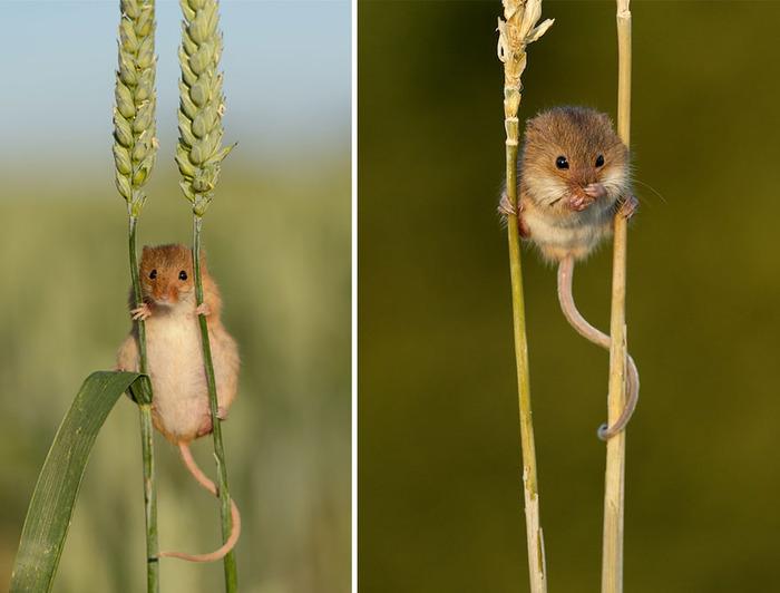 mice18