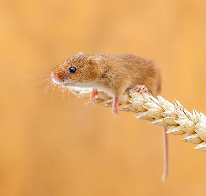 mice23