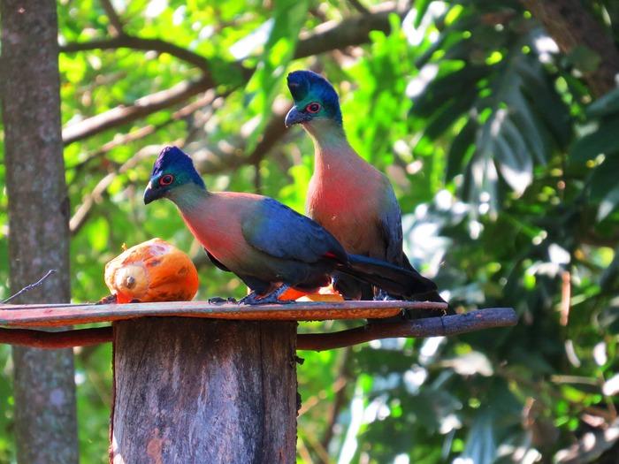 美しい鳥エボシドリ