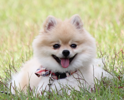 Pomeranian-tb