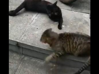 【動画あり】ネコの浮気現場wwwwwwwwwww