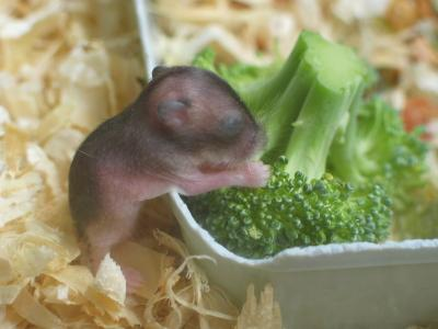 baby-hamster