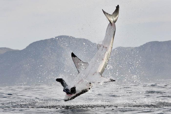 獲物をくわえて腹を見せるホホジロザメ