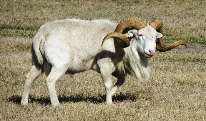 sheep15