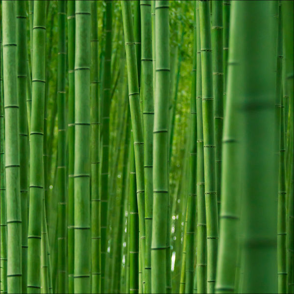 fantastic_bamboo_grove_in_japan_640_12
