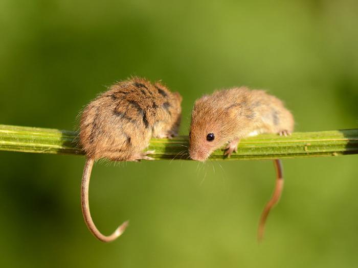 mice20