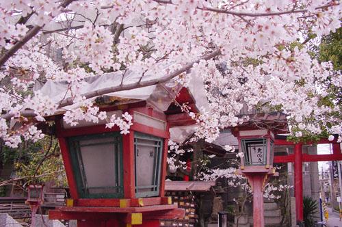 時期 京都 桜