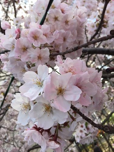 目黒川の桜20170407
