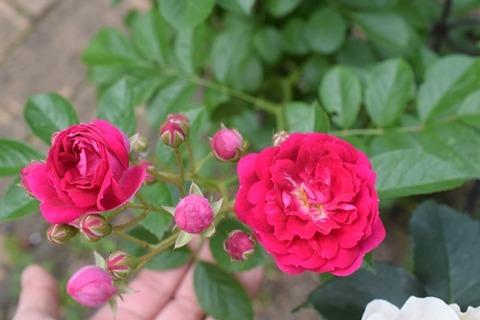 バラの名前不明