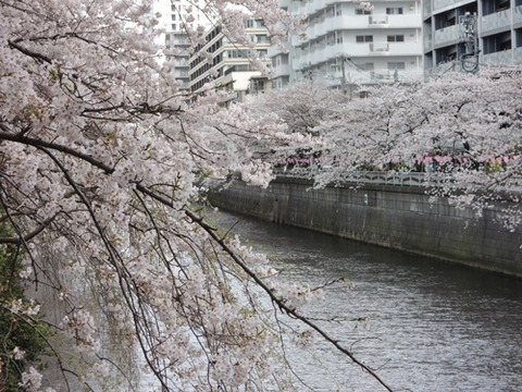 目黒川桜並木2