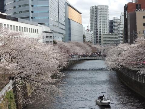目黒川桜並木3