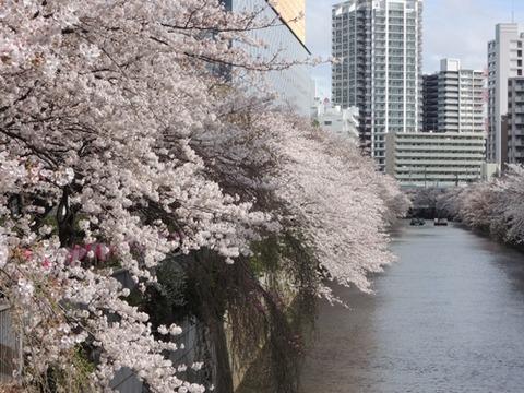 目黒川桜並木2017