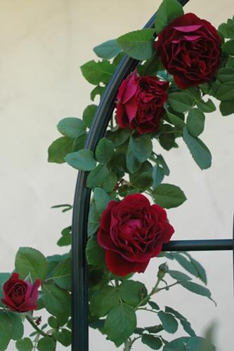 庭の赤バラ2