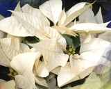 ポインセチア白