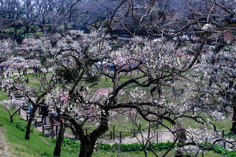 20190305_大倉山公園梅_13