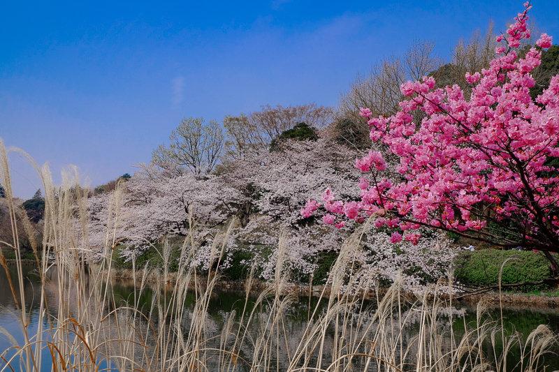 20180327_三ッ池公園桜__5