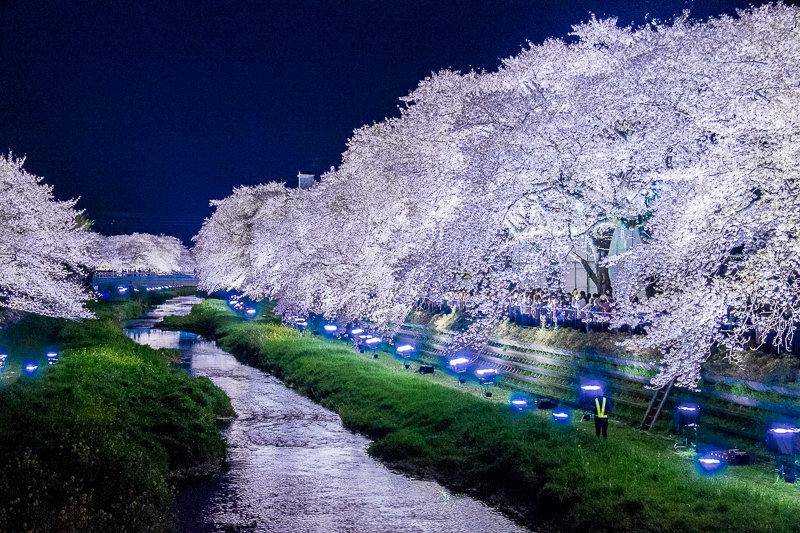 20180330_野川桜ライトアップ_15