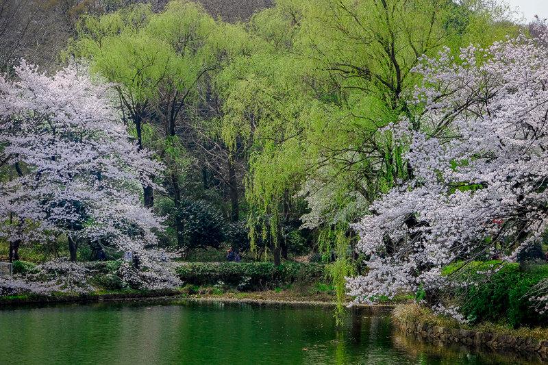 20180327_三ッ池公園桜__8