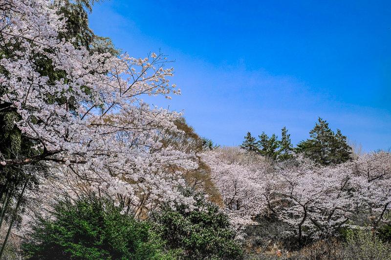 20180327_三ッ池公園桜__11