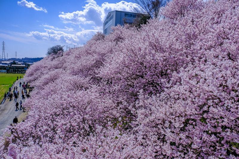 20190314_ハラネ春めき桜_7