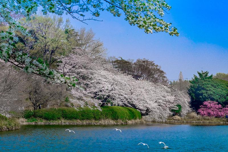 20180327_三ッ池公園桜__1