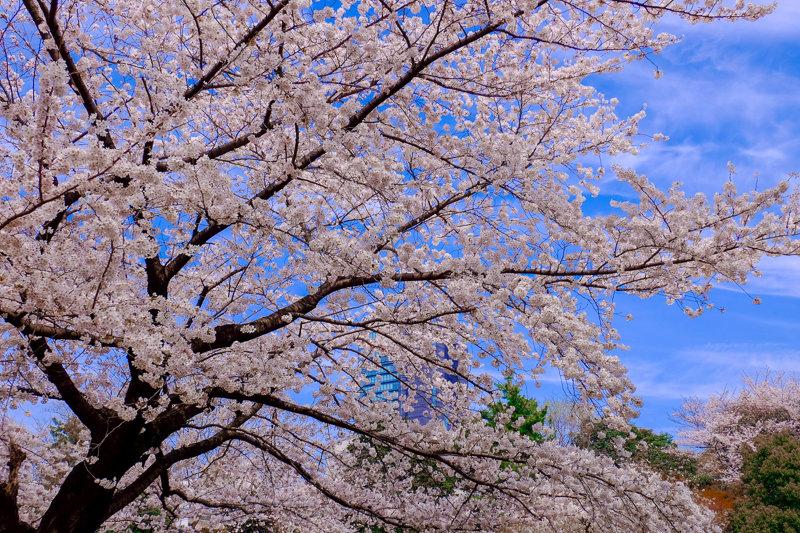 20180326_菅刈・西郷山公園桜_2