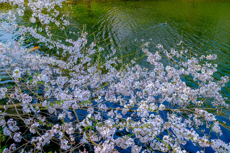 20180327_三ッ池公園桜__13