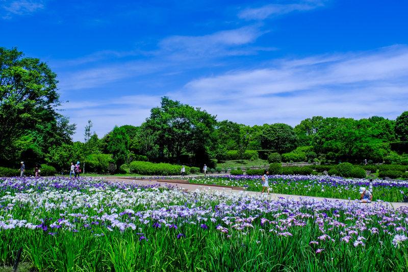 20190617_相模原公園花菖蒲_10