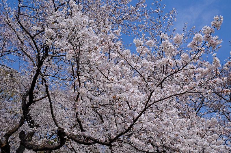 20180327_三ッ池公園桜__2