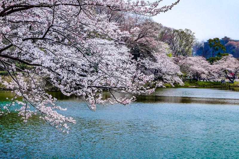 20180327_三ッ池公園桜__14