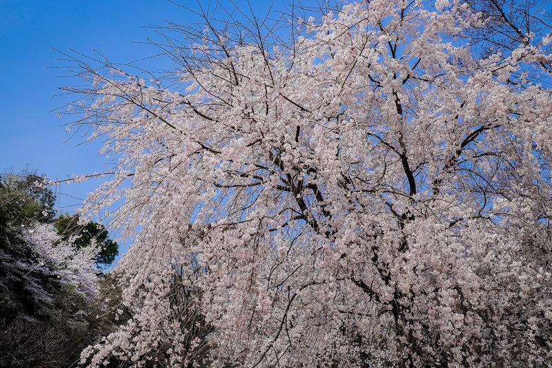 20180327_三ッ池公園桜__9