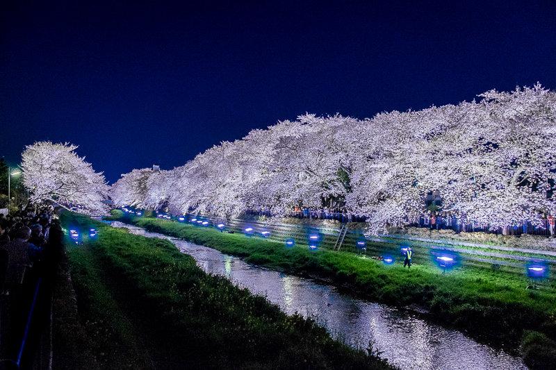20180330_野川桜ライトアップ_14
