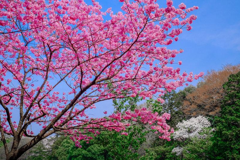 20180327_三ッ池公園桜__16