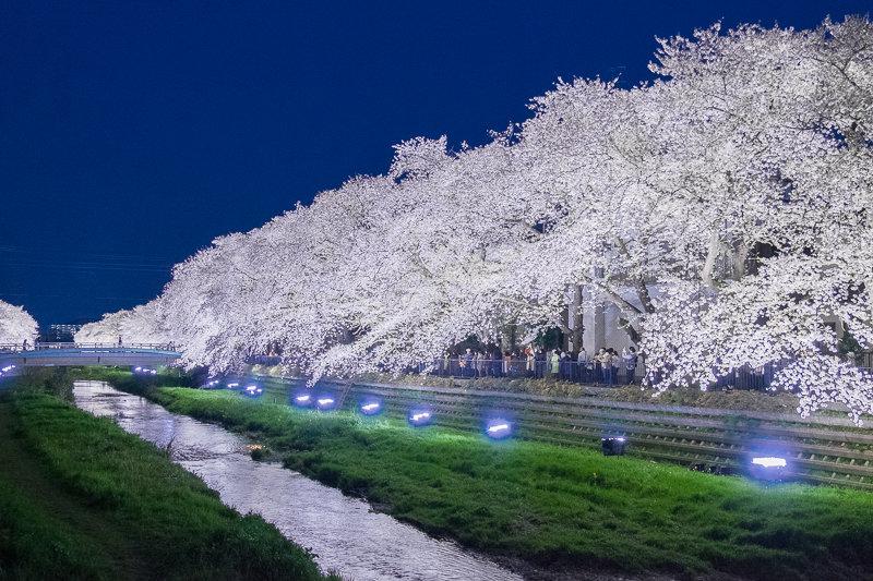 20180330_野川桜ライトアップ_11
