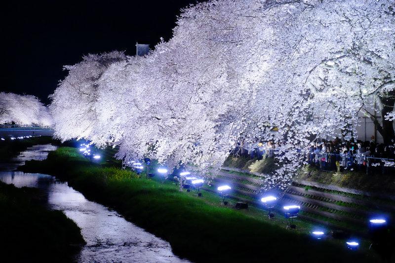 20180330_野川桜ライトアップ_16