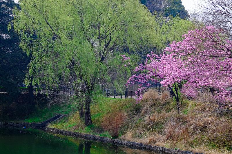 20180327_三ッ池公園桜__3