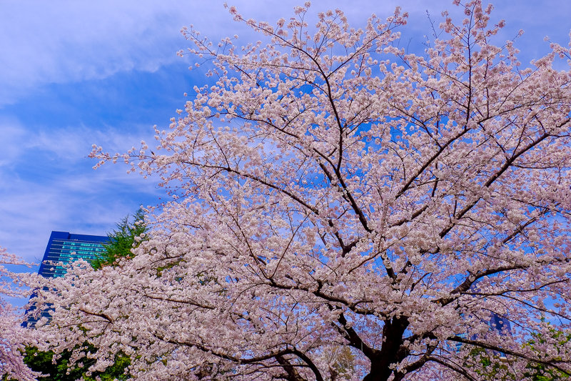 20180326_菅刈・西郷山公園桜_4