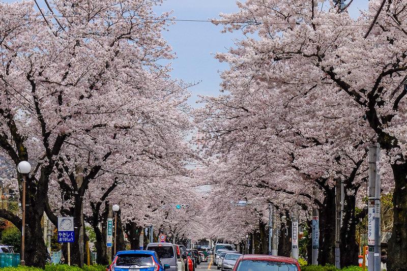 20170410_つくし野桜