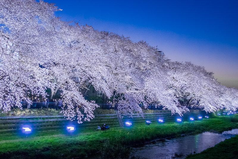 20180330_野川桜ライトアップ_9